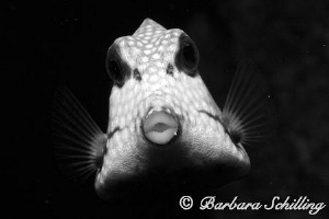 A very curious Trunk fish inspecting the lens! by Barbara Schilling 